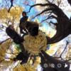 イチョウ並木 を犬と散歩 #360pic