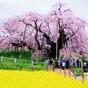 【今が見頃!】福島県三春町の滝桜を見に行ってきた【日本三大桜】