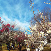 大宮第二公園・第33回梅まつりで青空デート