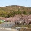 須磨浦公園 4月7日の桜
