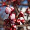 梅は咲いたか桜はまだかいな…