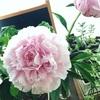 芍薬の花がさきました。