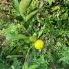 今年植えた花柚子に一個