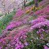 しだれ桜と芝桜の隠れ里とWHO事務局長顧問『抑制検査の限界を認めよ』