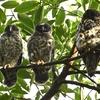 アオバズク雛3羽誕生~巣立ち~旅立ちへ