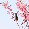 手賀沼遊歩道の桜とヒヨドリ