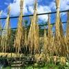 小麦・ライ麦を干す ~梅雨の晴れ間の日光浴~