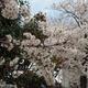 今年も楽しみました【金澤市内の桜】