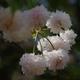 善正寺菊桜、今年は満開