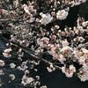 神田上水沿いの桜はもうかなり咲いた