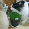 春、猫、猫草を食べる。