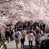 一目千本桜 2016年春