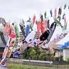 川口元郷駅前の、大きな鯉のぼりソヨソヨ