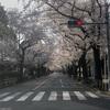 武蔵野市役所前の桜並木に感動!こんなお花見スポット、今時ないわ
