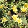 畑の初夏の花2