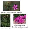 """Pink の語源はPink:  カーネーション以外のナデシコ属を、英語圏では  """"Sweet William"""" 及び  """"Pink""""と呼んでいるようです.そして,「この花こそが,ピンクの語源なのである」.ビックリでした.しかしよく考えれば「色の名前が,身の回りの物の名前,例えば植物の名前がつけられた後からになるのは当然」ですね.付録:  基本の色名"""