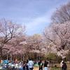 桜前線2017@円山公園