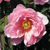 今日の誕生花「ボタン」美女の形容として使われる豪華な花!