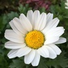 真冬の白い花たち