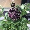 【おまけ】八重咲きペチュニア開花😄