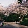 横手公園の桜2(秋田県横手市)