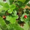 アリの巣コロリの威力絶大!イチゴを守る。🍓