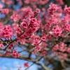 与那覇琉音/桜
