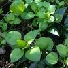 春の七草の一つ,はこべ.我が家の庭では,クジャクアスターの鉢の中で,元気に沢山育って?います.思いつつまま,気がつくまま,ハコベのあれこれを調べてみました.今日はその第一回:1. ハコベは「種」を特定した名前ではない? 現在:「日本で通常ハコベと呼ばれるのは,コハコベ(S. media),ミドリハコベ(S. neglecta),ウシハコベ(S. aquatica)の3種になります」(以前は「ミドリハコベ」をさしていたと思われます.「コハコベ」は英語Common chickweedと同一種,もしくはその変種