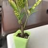 百均で買った「クロトン」という観葉植物を机に置くことにした