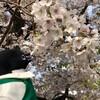 泉州一の桜がここに!岸和田城で桜を楽しむぞ(泉州お花見編その3)(181)