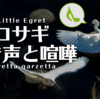 コサギの鳴き声【野鳥図鑑・鳴き声図鑑】Egretta garzetta Little egret