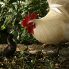 抗体を持つ鶏 その2
