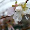 四季桜の水滴と