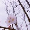 桜の入学式。