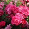 横浜イングリッシュガーデンでたくさんの薔薇を見てきた!