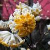 ミツマタの花たち