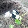 ミニかぼちゃ坊ちゃん栽培の防虫対策をとことんやってみました。