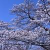 《緊急告知》桜の見ごろは27日(土)と28日(日)〔馬見丘陵公園23〕