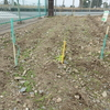 神原町シニアクラブ( 159 ) 健康広場のグラウンドの整備と花ラインの冬越し準備