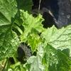 スイカとメロンの摘芯。~家庭菜園でスイカやメロンに挑戦しよう!~