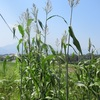 農園日誌ーいきなり酷暑、雨降らず!