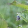 6/19・恩原高原のヒメシジミ 〜 雨のなかヒメシジミの姿を楽しみました