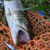 旭川市、川の釣り、7月、8月で何が釣れたのか、(2021年夏)