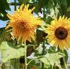 「佐久の季節便り」、二十四節気・「大暑」、「向日葵(ひまわり)」が咲いて…。