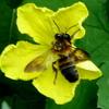 胡瓜の花から吸蜜する蜜蜂