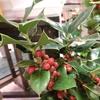 魔除けのセイヨウヒイラギ【クリスマスホーリー】で来年の厄除けをしよう!