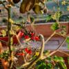 ミニトマト「ダッテリーニ」の花軸から枝!
