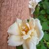 年間通してけっこう咲いてくれています「サフラノ」