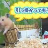【ハムスター 動画】すだれや給水器に引っ掛かり、わちゃわちゃしてるハムスターが面白カワイイ!#101