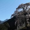 マジで今年最後の桜 ア・ラ・カルト 中山道の立派な枝下桜 と、我が家のネコ